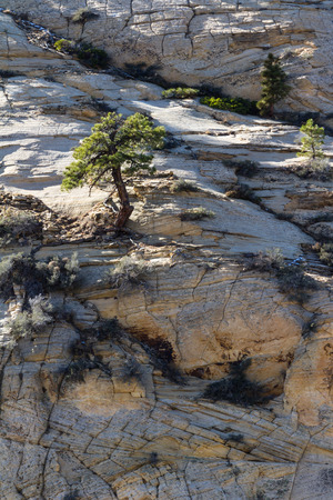bedrock: small tree growing without any soil on the rocky mountains of Zion NP is southern Utah