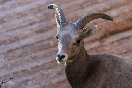 portrait of a young big horn sheep in Zion National Park in southern Utah photo