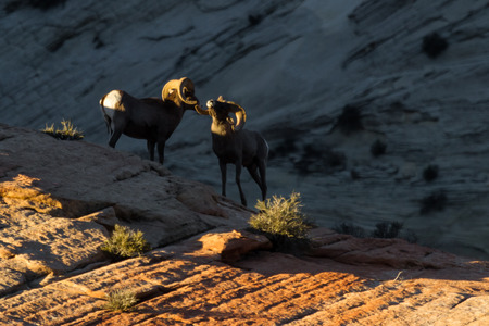 two adult male rams or big horn sheep practicing in a mating season ritual or power struggle photo