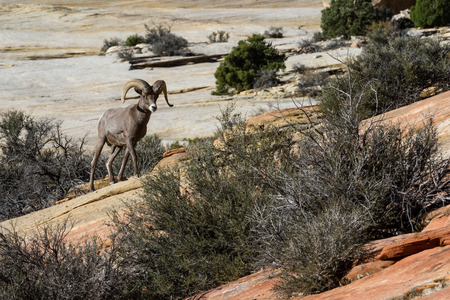 portrait of an adult male big horn sheep on the sandstone cliffs of Zion National Park in Utah photo