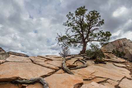 rooted: alone tree with long roots growing on  rocky arid terrain on top of a mountain in Zion nations Park