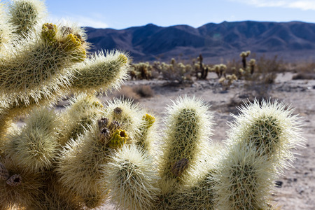 cholla: Cholla cactus in the Joshua Tree National Park in Southern California Stock Photo