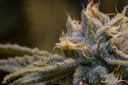 medical plant: close up of a healthy marijuana plant with crystalline structures in the leafs and buds Stock Photo