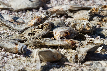evaporating: Close up of dead, dried fish in the Salton Sea in Southern California