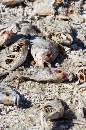 Close up of dead, dried fish in the Salton Sea in Southern California