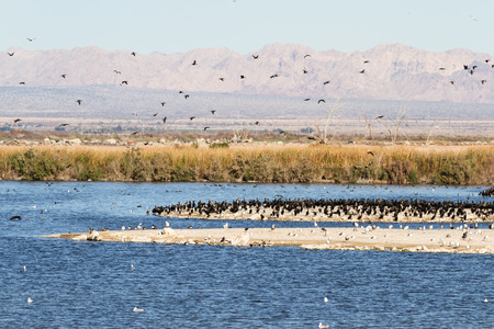 refuge: Large congregation of Eared Grebes in the Sonny Bono National Wildlife Refuge in Southern California Stock Photo