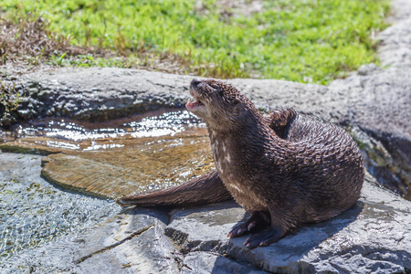 necked: spotted necked otter sitting on a rock under the sun after swimming. Stock Photo