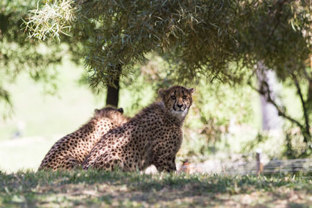spoted: young cheetah in the afternoon on green grass in a zoo in California