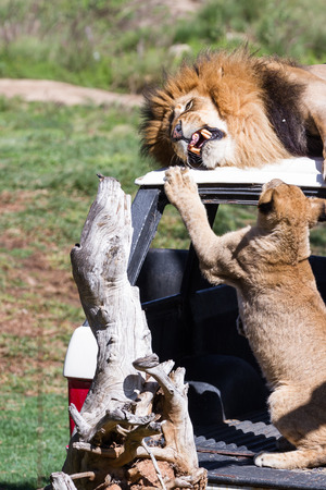 frustrating: Adult male lion laying on top of a car getting annoyed by a cub