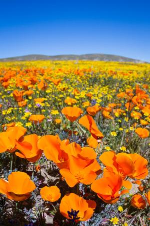 カリフォルニア、アンテロープ バレー カリフォルニア ・ ポピー保持の丘に咲く花の何千もの春 写真素材 - 38735582