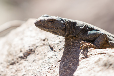 desert lizard: Adult common chuckwalla lizard sunbathing on a rock in the California desert.
