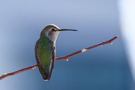 hummingbird: Close up of a female costas hummingbird in the California desert.