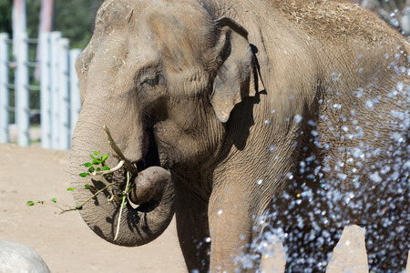 gentile: Asian elephant eating leaves off a tree branch in a zoo