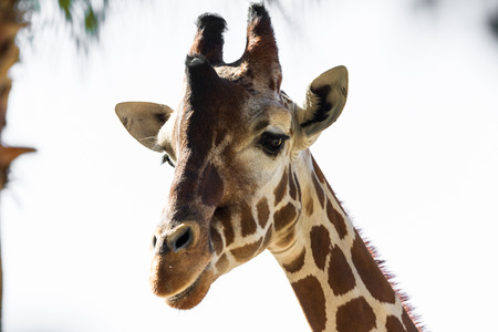 reticulated: heat shot of an adult female reticulated giraffe over a white background Stock Photo