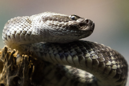 glass partition: close up of a western diamond-backed rattlesnake (crotalus atrox) photo taken thru a glass partition in a zoo