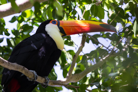 close up of a perched toco toucan with a beautiful display of color and natural beauty