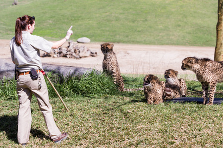 spoted: San Diego Zoo Safari, Escondido, California - March 04 : zoo keepers feeding the cheetahs, March 04 2015 in San Diego Zoo Safari, Escondido, California.