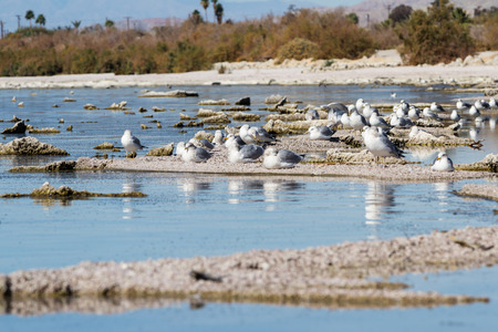 a group of seagulls sitting on the eroding and drying lake bed of the Salton Sea in California Stock Photo