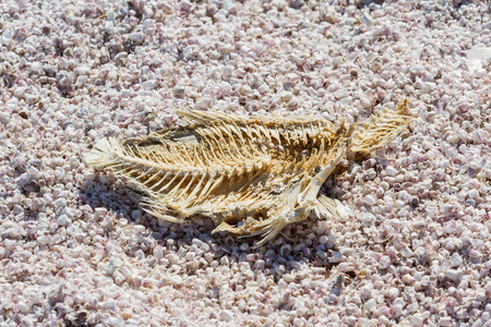 evaporating: Close up of a dead dried fish in the Salton Sea in Southern California