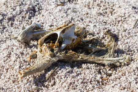 evaporating: Close up of a dead dried up pelican in the Salton Sea in Southern California