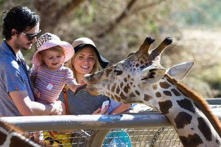 reticulata: The Living Desert Zoo, Palm Desert, California - February 05 : Tourist family hand feeding a Giraffe at the zoo, February 05 2015 in The Living Zoo, Palm Desert, California. Editorial