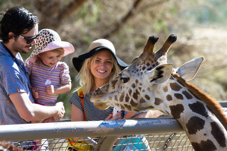 giraffa camelopardalis reticulata: The Living Desert Zoo, Palm Desert, California - February 05 : Tourist family hand feeding a Giraffe at the zoo, February 05 2015 in The Living Zoo, Palm Desert, California. Editorial