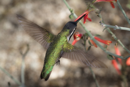 migrate: black chinned hummingbird ( Archilochus alexandri) . Male hummer feeding on orange tube flowers