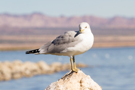 the residue: a group of seagulls sitting on the eroding and drying lake bed of the Salton Sea in California Stock Photo