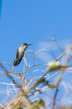 migrate: small female costas hummingbird perched on a small bare branch in the californian desert.