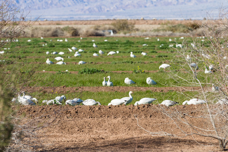 bono: Large flock of geese wintering in southern California at the Sony Bono National Wildlife Refuge