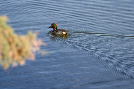 bono: A lone green winged teal duck swimming away in the blue water of the lake