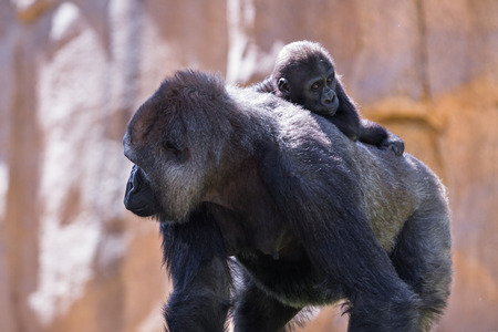 zoo as: new baby gorilla at the zoo holding on to his moms back as she walks Stock Photo