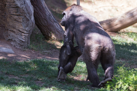 cary: new baby gorilla holding on to his mothers arm as she walks on the grass