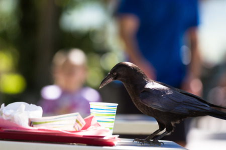 leftover: large black crow feeding on fast food leftovers at a table