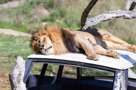 zoo as: Adult male lion laying on top of a car set at a zoo as a prop