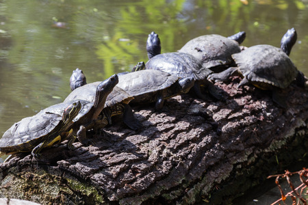 group of 8 turtles on a log soaking in the sun after climbing out of the pond