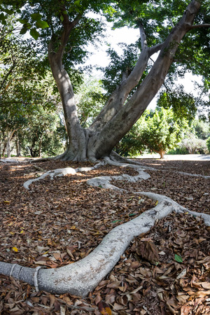 close up of the long shallow root of a large tree in California