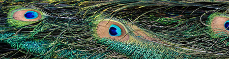 iridescent: Close up of beautiful and colorful peacock feathers with iridescent colors