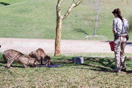 San Diego Zoo Safari, Escondido, California - March 04 : zoo keepers feeding the cheetahs, March 04 2015 in San Diego Zoo Safari, Escondido, California.