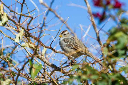 small song sparrow perch on a shrub in the California desert Banco de Imagens