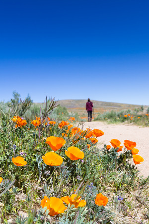 thru: Trail thru the field covered in spring flowers in Antelope Valley California Poppy Preserve.