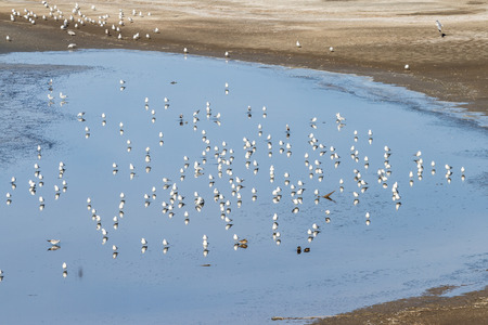 bono: A group of seagulls standing on shallow water in the Salton Sea with a reflection of each bird against the blue water Stock Photo