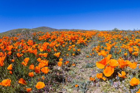 thru: Thousands of flowers blooming on the hills of the Antelope Valley California Poppy Preserve with a walking trail thru the field