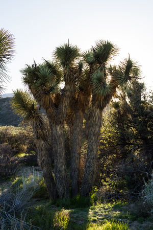 joshua: Joshua trees in the high desert of southern California
