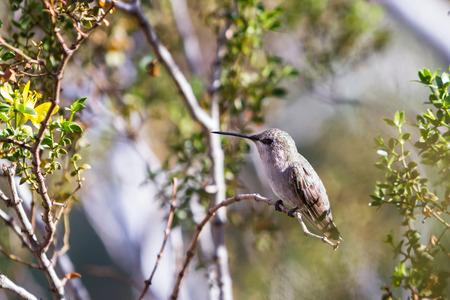 anna: small female Annas Hummingbird - Calypte anna - perched on a small branch in the California desert