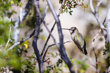 anna: small female Annas Hummingbird - Calypte anna - perched on a small branch in the California desert