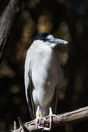gray herons: close up of a black crowned night heron perched on a dead tree branch