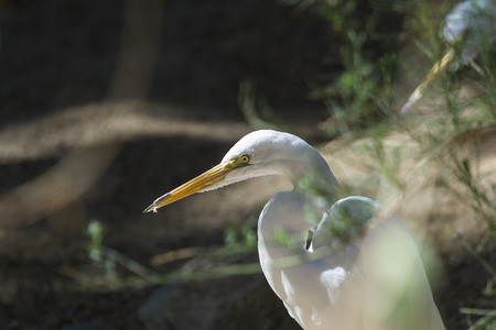 shadowy: close up of a great egret on a shadowy background