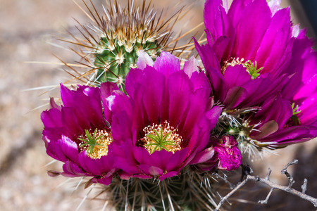 desert cactus: close up of a beautiful purple flower on a desert cactus in Arizona