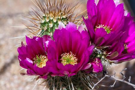 plantas del desierto: de cerca de una hermosa flor púrpura en un cactus del desierto en Arizona